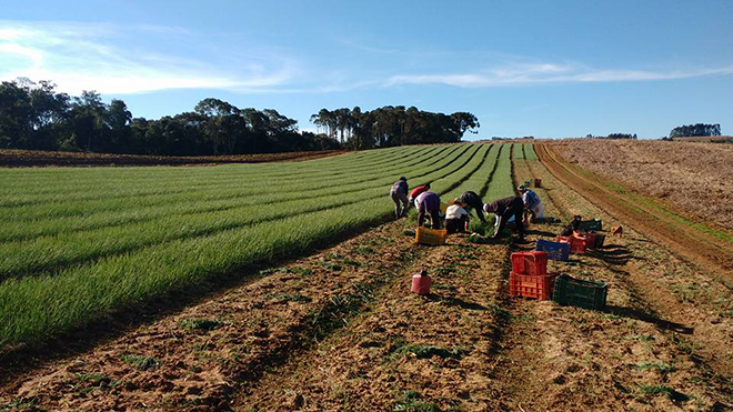 Employees are harvesting garlic